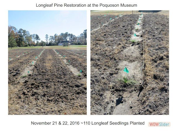 LongleafPineRestorationProject003