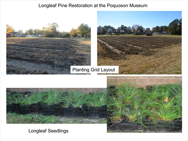 Longleaf Pine Restoration Project - November 2016 Update_002