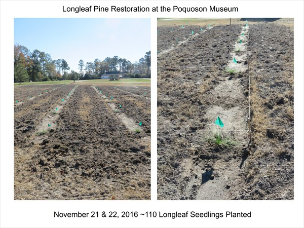 Longleaf Pine Restoration Project - November 2016 Update_003